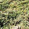 Puncture vine