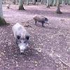 Ever, wild boar