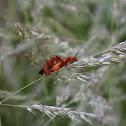 Common Red Soldier Beetle - Páteříček žlutý