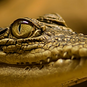 look at me ..  by Aris Susanto - Animals Reptiles