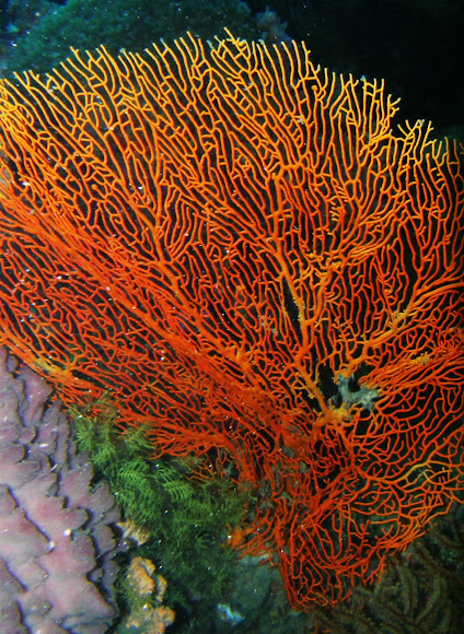 Red sea fan coral project noah red sea fan coral publicscrutiny Images
