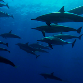 Wild Dolphins HD