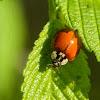 Asian multi-color lady beetle