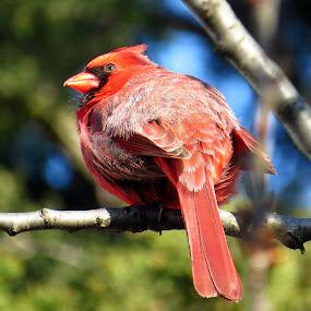 Northern Cardinal (Male) by Patti Hobbs - Animals Birds ( animals birds northern cardinal male )