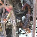 Alacrán, Scorpion