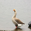 Domestic Chinese x Graylag Goose hybrid