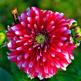 spring time by Ashutosh Singhvi - Flowers Single Flower ( spring time,  )