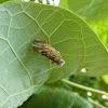 Case moth pupa