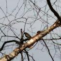 Eastern yellow-rumped warbler