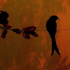 Almost Painting-Drongo by Rajkumar Biswas - Animals Birds ( bird, drongo )