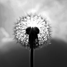 sun in flower by Nur Saputra - Black & White Flowers & Plants