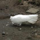 White Roller Dove