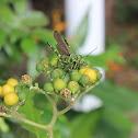 Saltamontes/Grasshopper