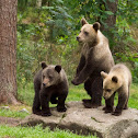 European Brown Bear (Cubs + Mum)