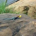 Rainbow Agama