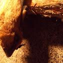 Bare-rumped Sheathtail Bat