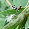 Assassin bug nymph X leafhopper nymph