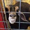 Goat, Domestic Goat