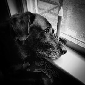 Waiting by Lori Louderback - Animals - Dogs Portraits (  )