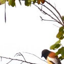 Rufous tree pie