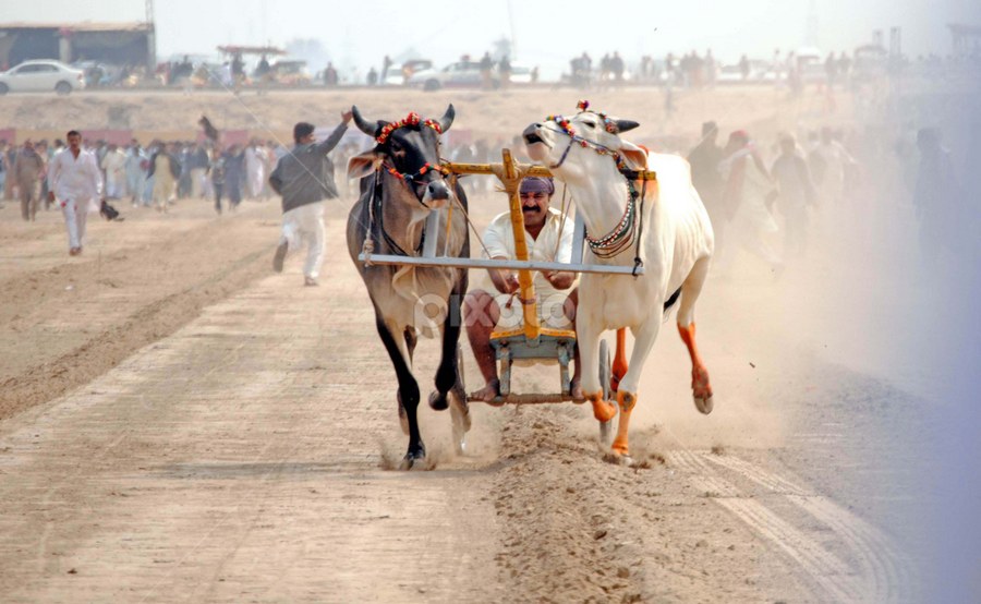 view of Bull race during Sindh Festival at Hyderabad Bypass