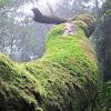 Mountain Moss - Leucobryum sp.