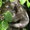 Sloth / bicho preguiça
