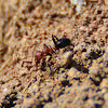 red and black ants