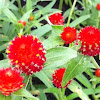 Strawberry fields globe amaranth