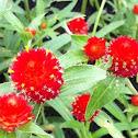 Strawberry fields globe amaranth