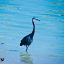 """Western Reef Heron """" dark grey morph"""""""