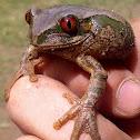 Natal Forest Treefrog