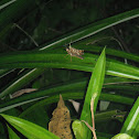 Mating Grasshoppers