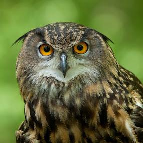 Asian Eagle Owl by George Holt - Animals Birds ( bird, eagle, asian eagle owl, owl, eyes, asian,  )