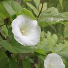 Hedge bindweed
