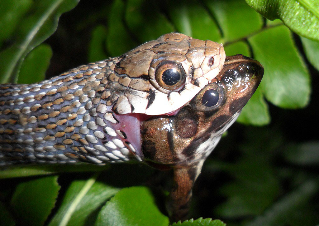 Buff Striped Keelback - eating a frog
