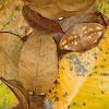 Moth Leaf Mimic
