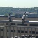 Rock pigeons