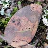 Holm oak leave