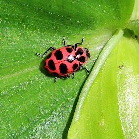 The Ladybug by Becky Patlan-Garcia - Animals Insects & Spiders ( macro, bug, ladybug, washington county, arkansas )