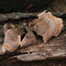 Mushrooms of Tennessee
