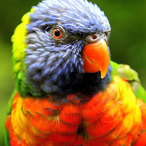 Rainbow Lorikeet by Ralph Harvey - Animals Birds ( bird, wildlife, ralph harvey, bristol zoo, lorikeet )