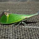False-eye lantern bug