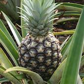 App Pineapple Matching version 2015 APK