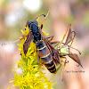 Northern Paper Wasps