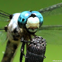 Great blue skimmer dragonfly, male