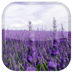 Lavender Live Wallpaper Apk