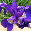 Emperor Siberian Iris
