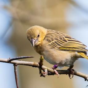 Weaver Bird by Anita Elder - Animals Birds ( bird, weaver )