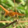 Common NameFlame Skimmer Dragonfly